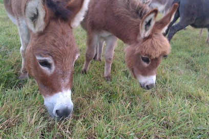 Friendly, adorable donkeys at Millers Ark Animals