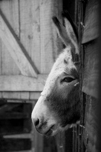 Donkeys for sale Miller's Ark Animals