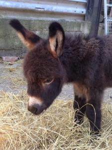 Miller's Arks newest donkey foal