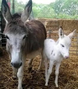 White baby donkey and mum