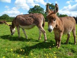 Donkey enjoying a sunny day grazing