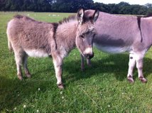 Breeders of miniature and standard donkeys in Hook, Hampshire. Maxwell is pictured here.