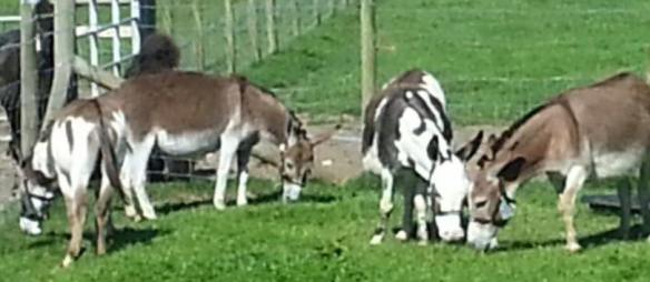 Amercian donkeys june 17